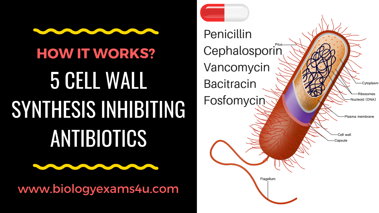 5 Cell wall Synthesis Inhibitors and their Mode of Action