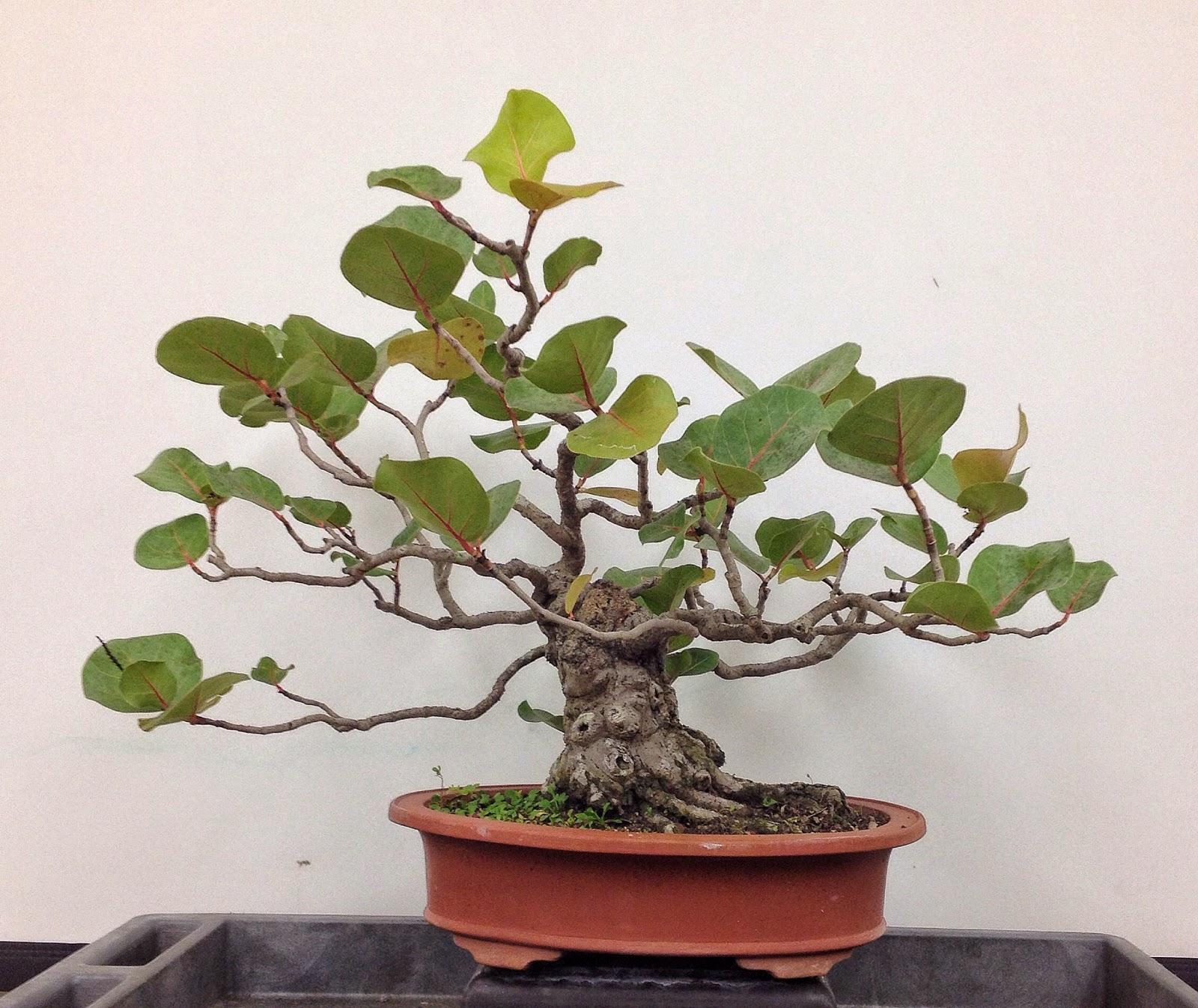 Bonsai Tree 29 Amazing Different Kinds Of Bonsai Plants Ideas
