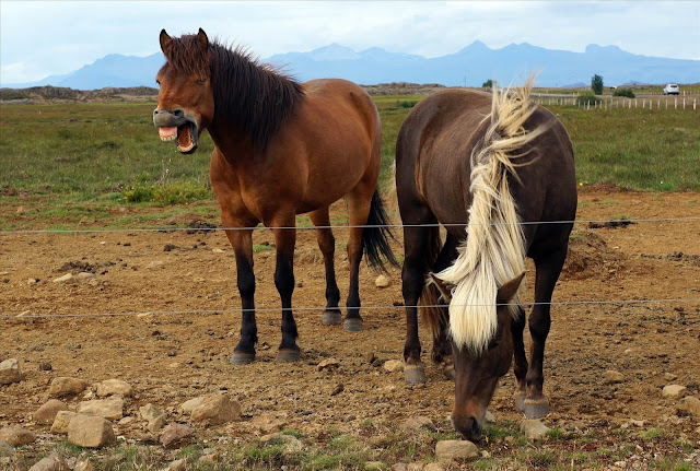 Powerful Icelandic Vikings were buried with stallions