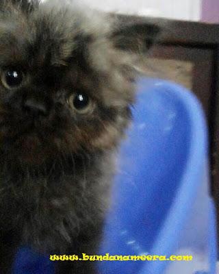 Hal yang perlu diperhatikan dalam memelihara kucing, pertimbanagn sebelum memelihara kucing, memelihara kucing