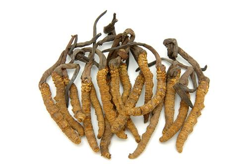 Cordyceps liar atau Cordyceps Sinesis