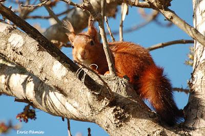 Esquirol a la desembocadura del Gaià