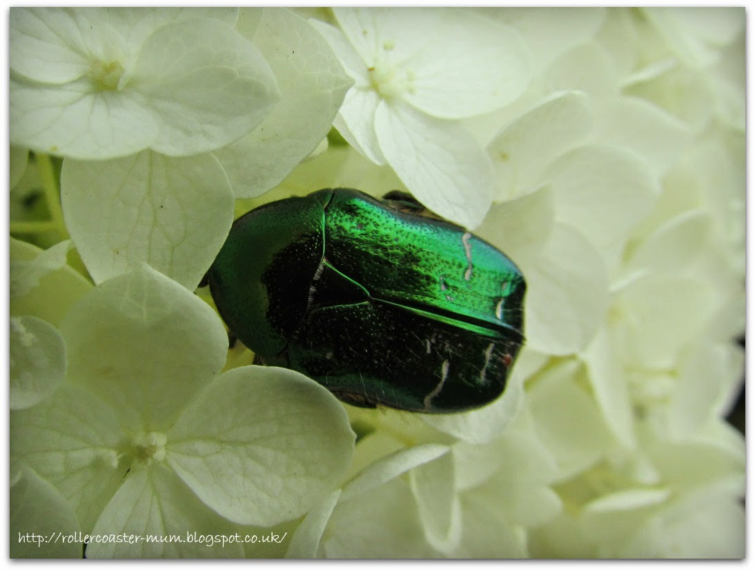 bright green Rose Chafer Beetle