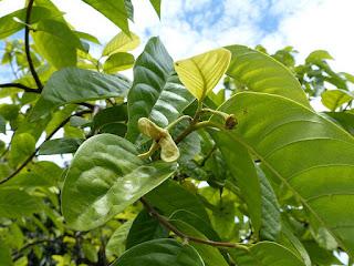 Rollinier - Corossol - Annona mucosa - Rollinia pulchrinervis