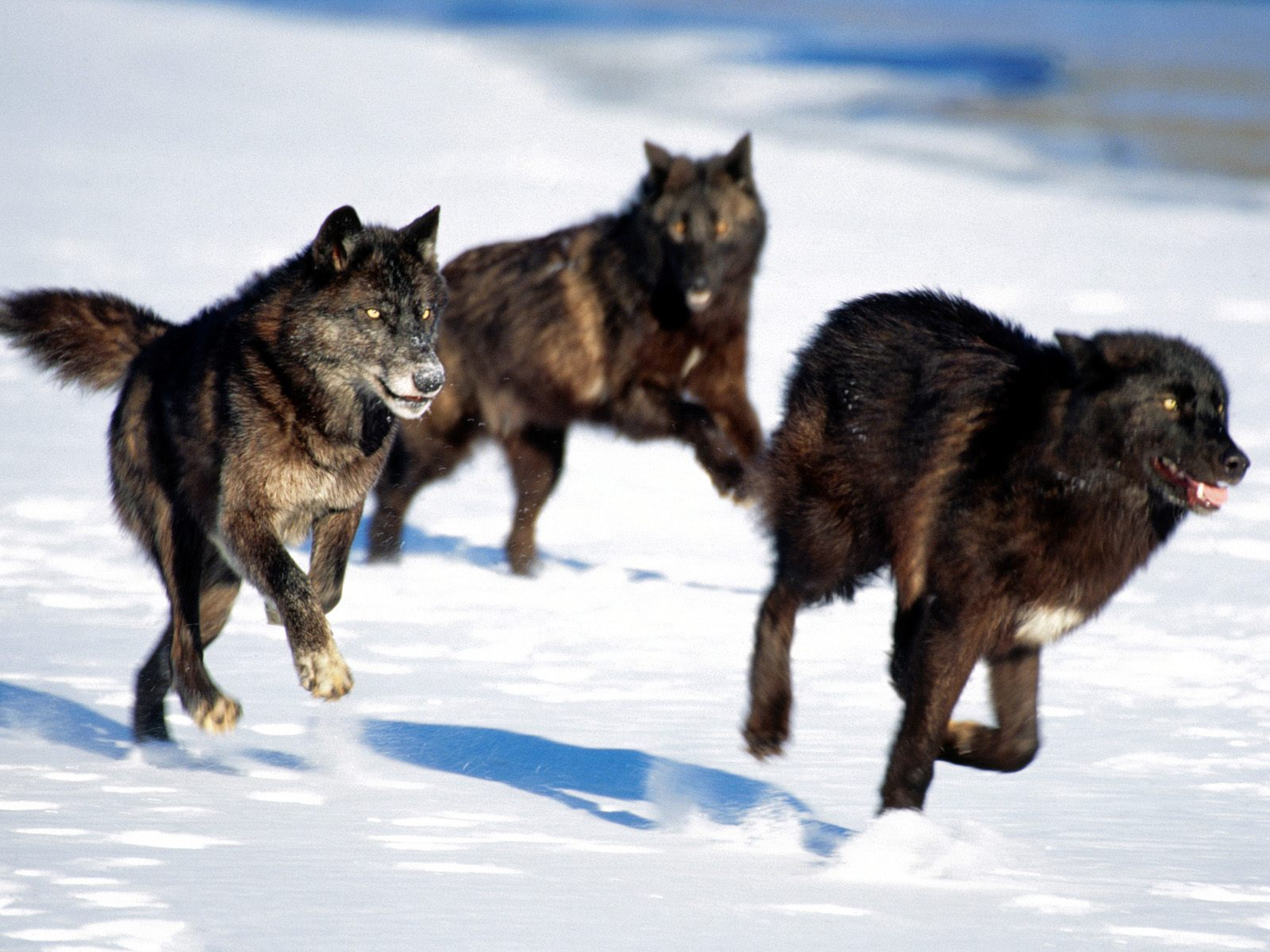 Wolves: Wolves, Wolf Facts, Cougars, Cougar Facts, Coyotes, Coyote