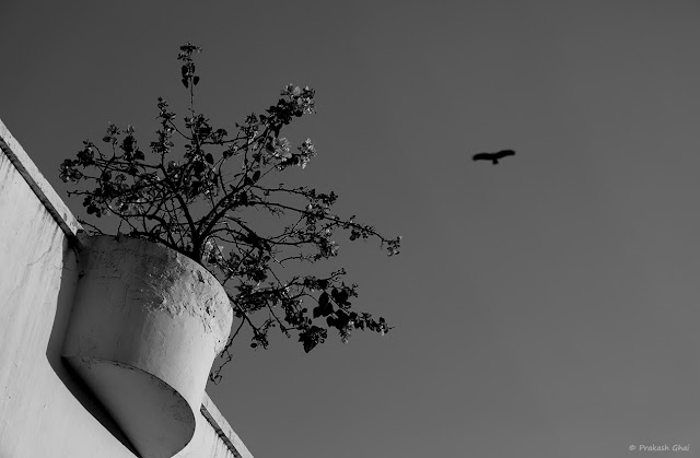 A Looking-Up Black and White Minimal Art Photograph of a Plant Versus a Flying Bird. Captured at Jaipur Literature Festival 2019 Diggi Palace Jaipur.