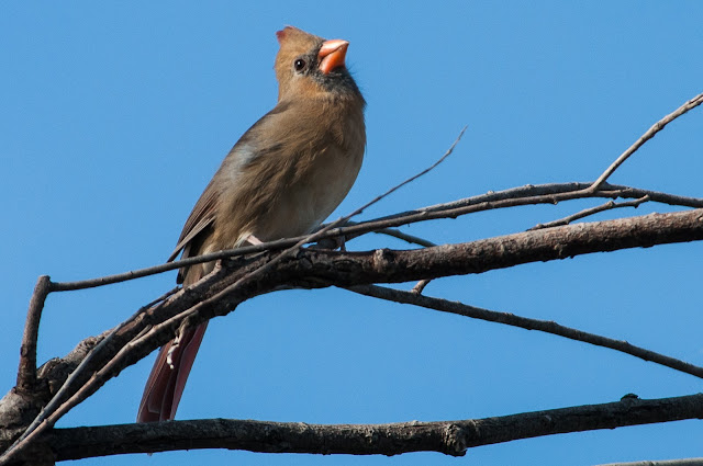 Female Northern Cardinal, LLELA