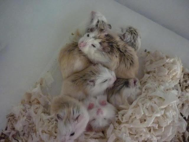 Hamster con bao lâu mới mở mắt