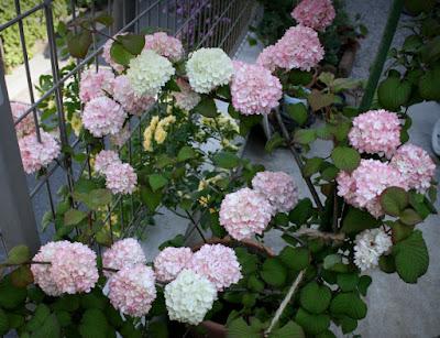 咲き分けオオデマリ