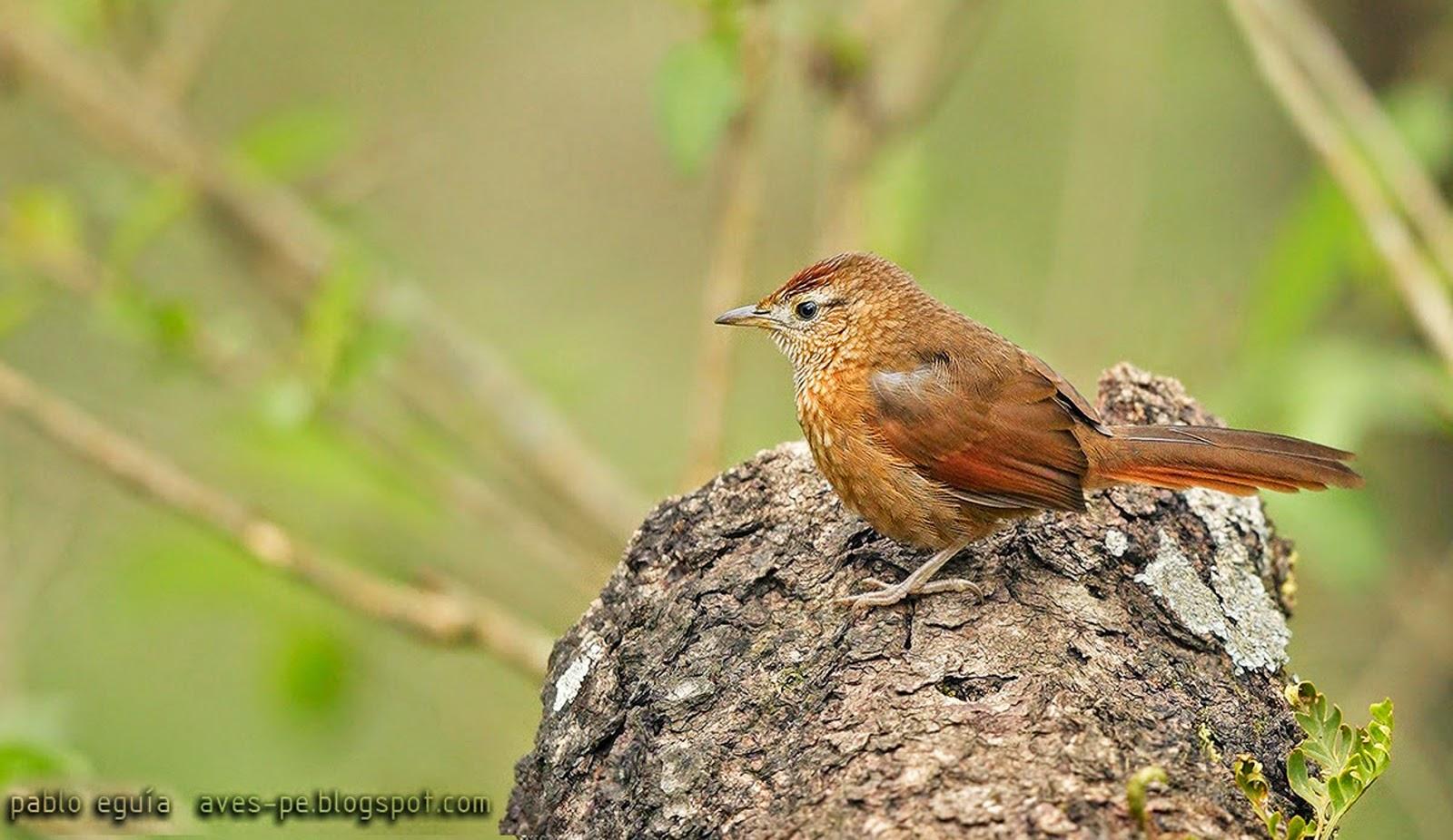 Spot breasterd Thornbird