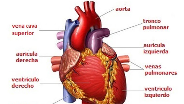 el corazon y sus partes