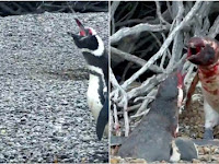 Penguin Jantan Ini Hajar Selingkuhan Istrinya Hingga Berdarah, Ending Videonya Bikin Sedih