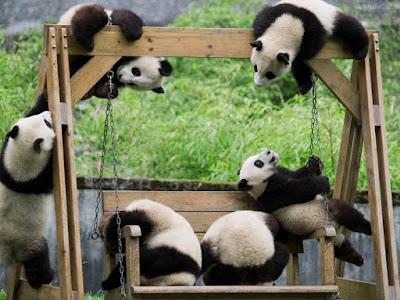 Bonitos panda jugando