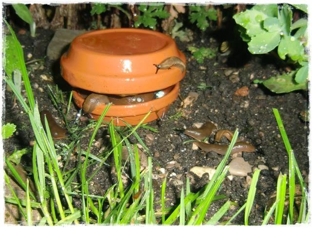 Gartenblog Topfgartenwelt Schädlinge: Schnecken werden von der Falle gefüllt mit Schneckenkorn magisch angezogen