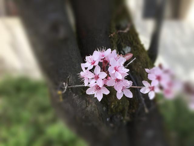 pinkige Frühlingsblüten