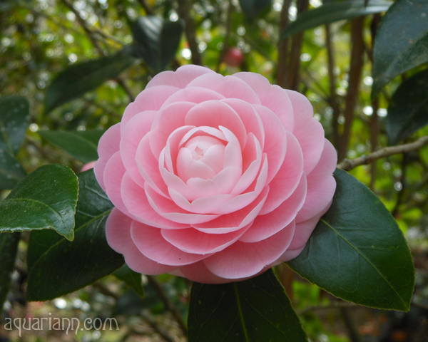 Pink Camellia Flower Photo by Aquariann