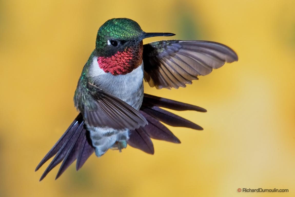 Image Gallary 3 Beautiful Ruby Throated Hummingbirds