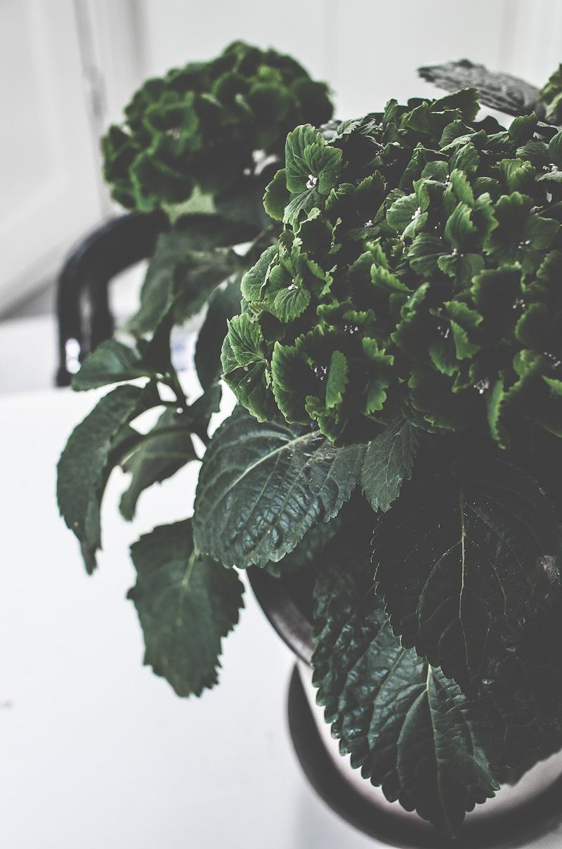 grön hortensia, bergs potter