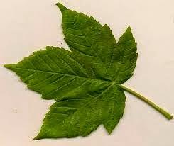 Green Leaf, Sycamore