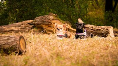 "Tierfotografie Tier-Portrait Chihuahua- Hundedamen Komando ""Platz"" wartend"