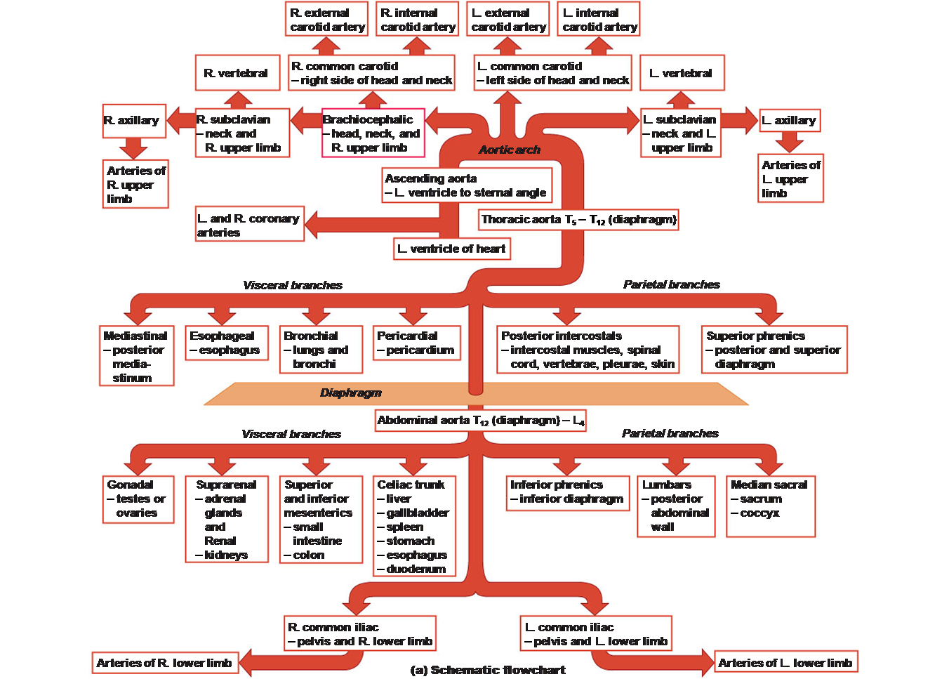 Aorta Blood Supply Schematic On Meducation