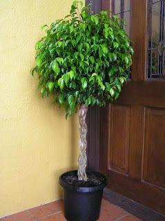 Maseta de pie con planta llamada ficus
