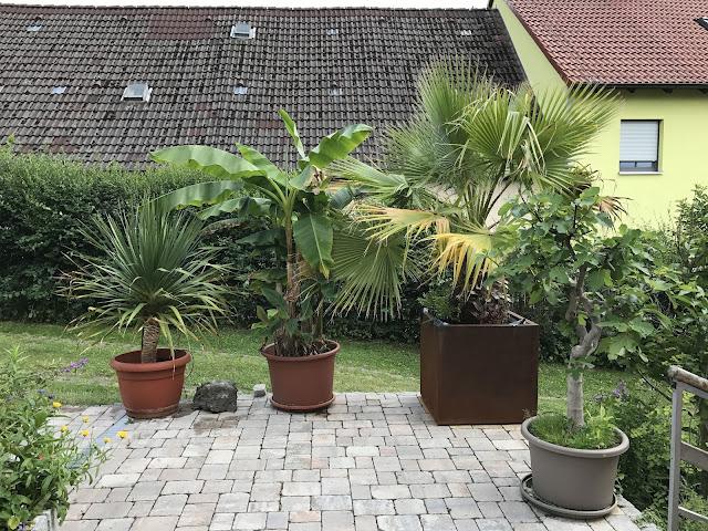 Palme, Banane und Drachenbaum - das Terrassen-Dreigestirn nebst Feige (c) by Joachim Wenk