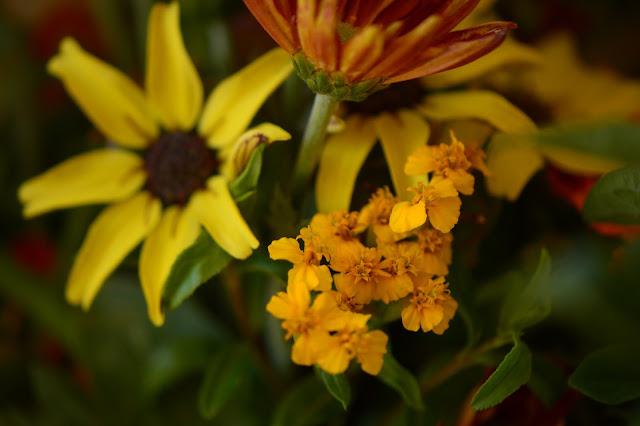 tagetes lucida, monday vase meme, chrysanthemum, lantana, berlandiera, tomato, sunflower, small sunny garden, flower arranging, desert garden, amy myers