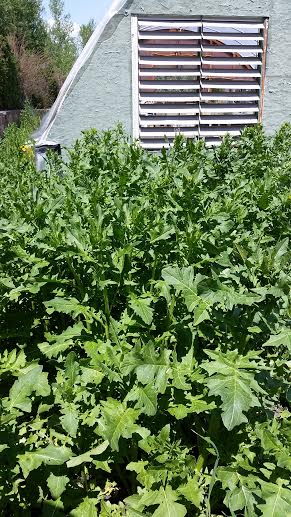 greenhouse, weeds, work hard, play hard, http://bec4-beyondthepicketfence.blogspot.com/2016/05/work-hard-play-hard.html