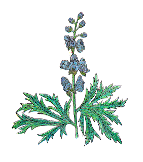A vintage color drawing of Wolfsbane.  Green long leaves with what look like serated edges and blue flowers along the stem.