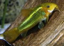 Jenis Ikan Hias Air Tawar Corydoras