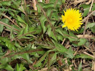 An image of a dandelion (T. officinale) plant