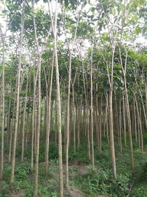 Tukang Taman Surabaya Harga Pohon Tabebuya