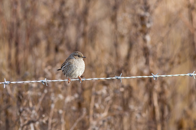 Dunnock on Barbed Wire Fence