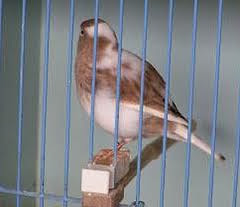 Kenari ini mempunyai nama Fife Fancy Canary dalam bahasa inggris KENARI FIFE FANCY, SI KECIL DARI SKOTLANDIA