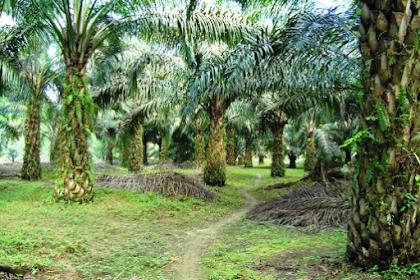 7 Pekerjaan Yang Wajib Dilakukan Di Perkebunan Kelapa Sawit 2018