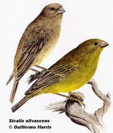 Jilguero oliváceo, Sicalis olivaceus