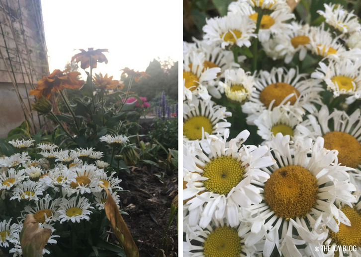 Shasta Daisy Lacrosse / A New Perennial Flower Bed // www.thejoyblog.net