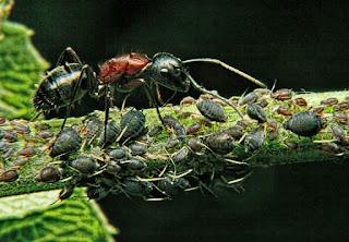 Selain Manusia, Semut Ternyata Bisa Berternak