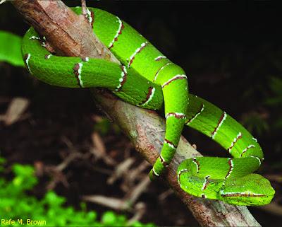 ular janur hijau, jenis ular hijau yang berbahaya, jenis ular hijau yang tidak berbisa, jenis ular hijau ekor merah, ular hijau kepala kuning, ular hijau kepala segitiga ekor merah, ular hijau kepala hitam, ular hijau kavak, ular hijau kartun, ular hijau kecil pendek, ular hijau lidah merah