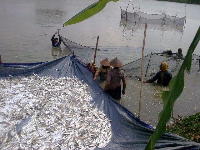 Budidaya Ikan Nila Sistem Polikultur