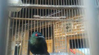 Burung Cucak Keling Cocok Untuk Masteran Murai