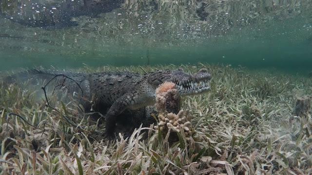 Crocodile open jaw underwater
