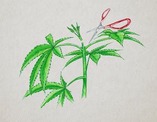 poda apical marihuana