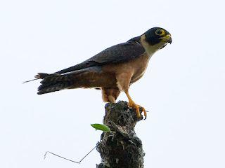 7 Fakta dan Informasi Menarik Tentang Burung Alap-alap