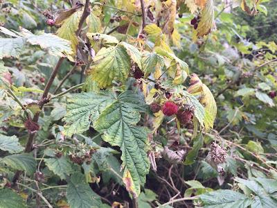 [Rosaceae] Rubus idaeus – Red Raspberry (Lampone).