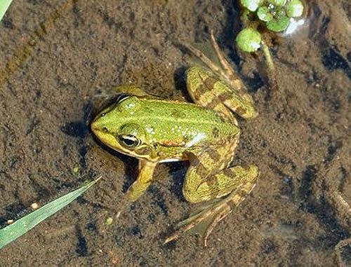 Il giardino delle naiadi rane e ranocchi i principi for Animali da laghetto