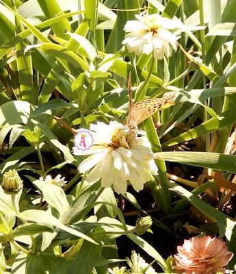 Красивая бабочка на белом цветке в Болгарии