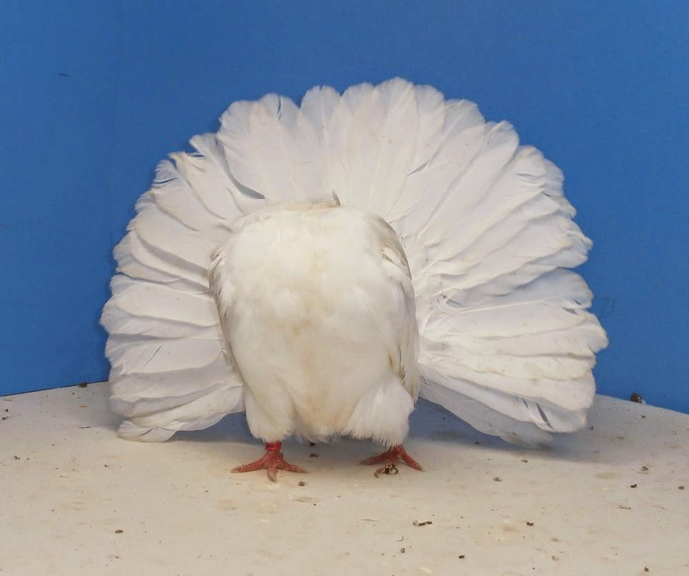 Fancy Pigeon Breeds: Black and White English Fantail Pigeon