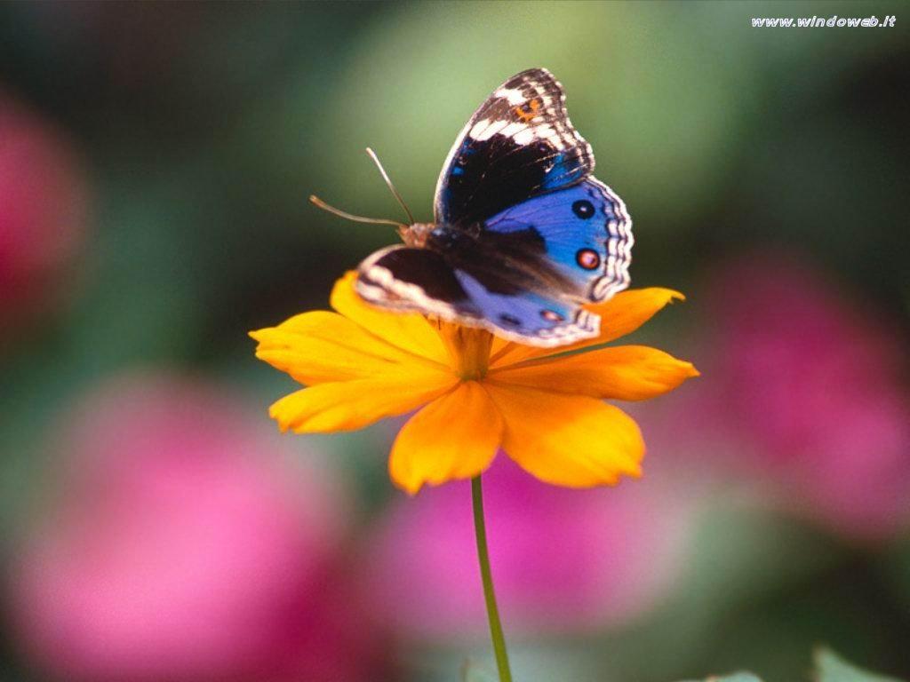 Il guardiano del faro fotografico farfalle 1 for Immagini farfalle per desktop